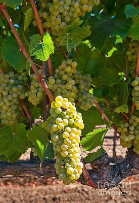 Beautiful Grapes From Wine Vineyards In Napa Valley California. Print by Jamie Pham