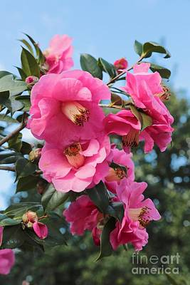 Beautiful Pink Camellias Print by Carol Groenen