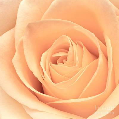 Beautiful Pink Rose Square Format Print by Edward Fielding