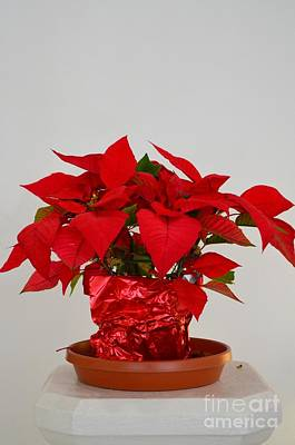 Photograph - Beautiful Poinsettia Plant - No 1 by Mary Deal