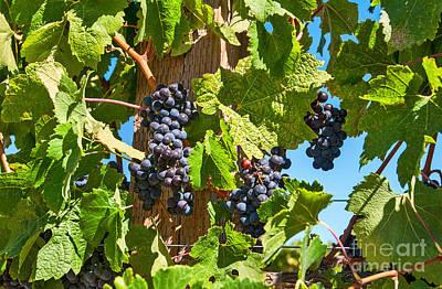Beautiful Purple Grapes From Wine Vineyards In Napa Valley California. Print by Jamie Pham