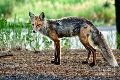 Beautiful Red Fox Print by Robert Bales