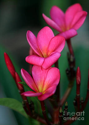 Beautiful Red Plumeria Print by Sabrina L Ryan