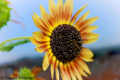 Beautiful Sunflower Print by Augusta Stylianou