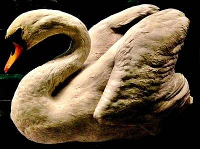 Beautiful Swan 331 Print by Angela Seager