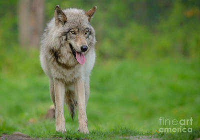 Wolf Photograph - Beautiful Timber Wolf by Cheryl Baxter
