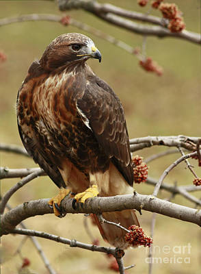 Beauty In Nature Red Tailed Hawk In The Spring  Print by Inspired Nature Photography Fine Art Photography