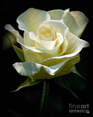 Simple Beauty In Colors Photograph - Beauty  Of A Rose by Sandra Clark