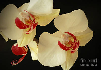 Beauty Of Orchids Print by Inspired Nature Photography Fine Art Photography