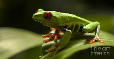 Beauty Of Tree Frogs Costa Rica 3 Print by Bob Christopher