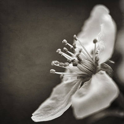 Sepia Flowers Photograph - Beauty Vanishes by Caitlyn  Grasso