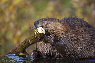 Beaver Chewing On Log In A Pond, Denali Print by Kent Fredriksson