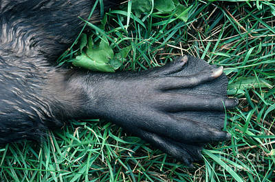 Beaver Photograph - Beaver Foot by Stephen J Krasemann