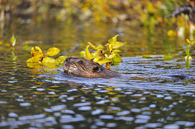 Beaver Swims With A Branch In Its Pond Print by Thomas Sbamato