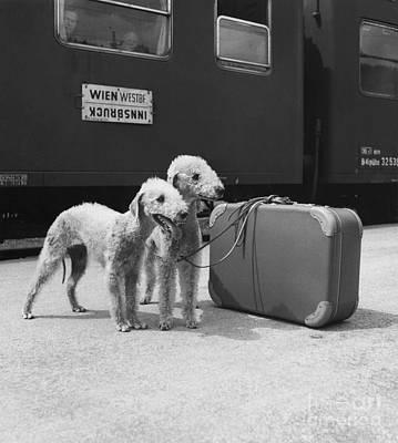 Animal Portraiture Photograph - Bedlington Terriers, Austria by Andy Bernhaut