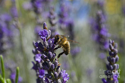 Bee And Lavender Print by Tristyn Lau