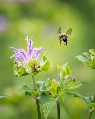 Bee Balm Bumble Bee Print by Bill Wakeley