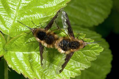 Proboscis Photograph - Bee-flies by Nigel Downer