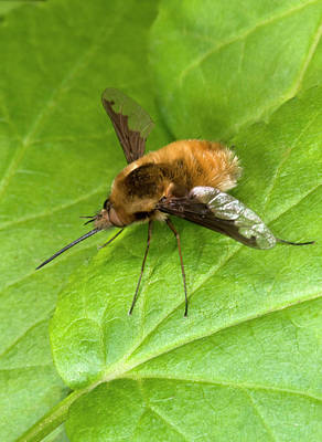Bee-fly Print by Nigel Downer