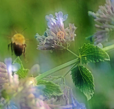 Blooms Photograph - Bee In Catmint by Photographic Arts And Design Studio