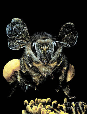 Bee Loaded With Pollen Print by Darwin Dale