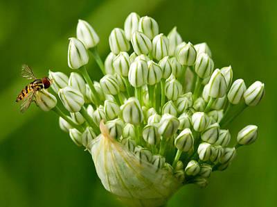 Bee On Onion Bloom Print by Iris Richardson
