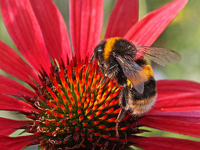 Bee On Red Coneflower 2 Print by Gill Billington