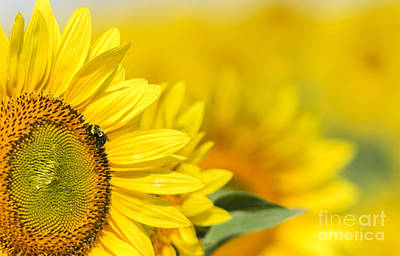 Landscape Photograph - Bee On Sunflower by Oscar Gutierrez