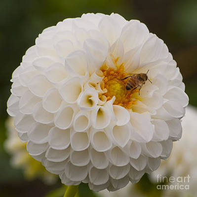 Bee On White Dahlia  Print by Mandy Judson