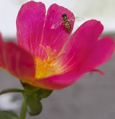 Bee Resting On A Pink Flower Print by Jennifer Lamanca Kaufman