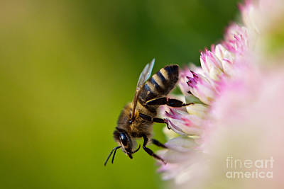 Bee Sitting On A Flower Print by John Wadleigh