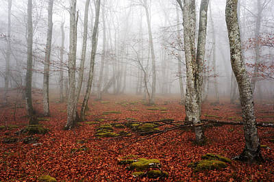 Beech Forest With Fog Print by Mikel Martinez de Osaba
