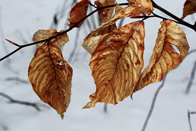 Beech Leaves Print by Andrew Pacheco