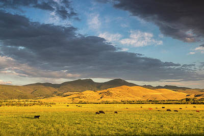 Beef Cattle Graze In Pasture At Sunrise Print by Chuck Haney