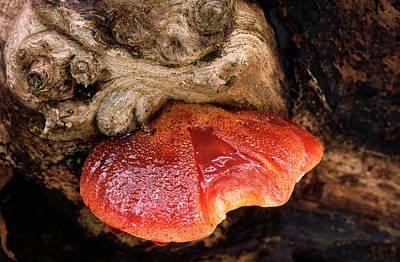 Hepatica Photograph - Beefsteak Fungus by Nigel Downer