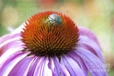 Coneflowers Photograph - Beetle Bug by Juli Scalzi