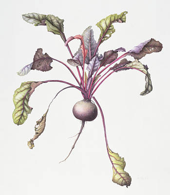 Food And Beverage Drawing - Beetroot by Margaret Ann Eden