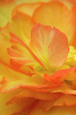Begonia Garden Photograph - Begonia Close-up by Jaynes Gallery