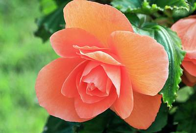 Begonias Photograph - Begonia 'non-stop Pink' by Ann Pickford