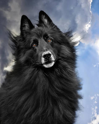Belgian Sheepdog Photograph - Belgian Shepherd Groenendael  by Wolf Shadow  Photography