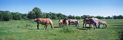 Belgian Draft Horse Photograph - Belgium Horses Grazing In Field by Panoramic Images