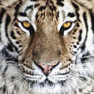 Bengal Tiger Eyes Print by Tom Mc Nemar