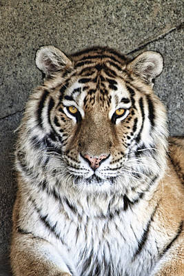 Bengal Tiger Vertical Portrait Print by Tom Mc Nemar