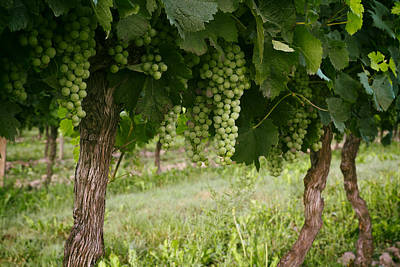Grapevine Photograph - Bergerac Grapes by Georgia Fowler