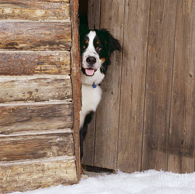 Dog At Door Photograph - Bernese Mountain Dog At Log Cabin Door by John Daniels