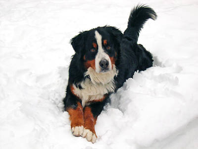 Pet Photograph - Bernese Mountain Dog In Snow by Donna Doherty