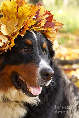Bernese Mountain Dog Photograph - Bernese Mountain Dog In Yellow Leaves by Aleksey Tugolukov