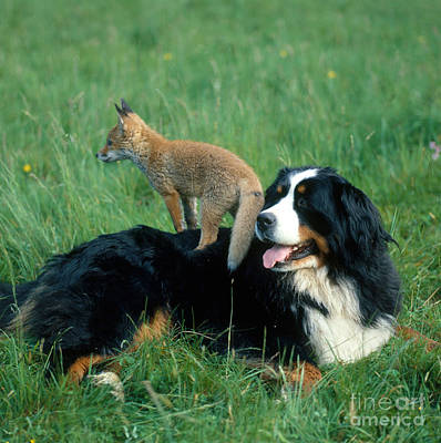 Bernese Mountain Dog Photograph - Bernese Mountain Dog With Fox by Hans Reinhard