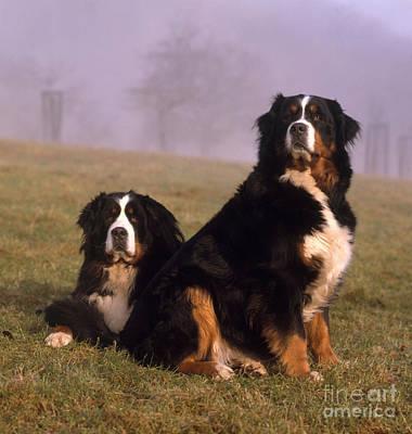 Bernese Mountain Dog Photograph - Bernese Mountain Dogs by Hans Reinhard