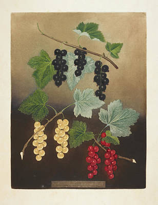 Pomona Photograph - Berries by British Library